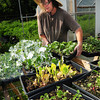 West Newbury: Erin Stack coats plants with an organic and environmentally safe agent to fight insects. Bryan Eaton/Staff Photo