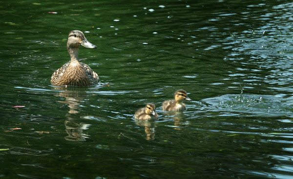 Newburyport: A mother mallard and two of her eight ducklings swim in the pond at Atkinson Common. One person taking photos of the waterfowl said there were nine this past weekend, maybe taken by a neighborhood cat. Bryan Eaton/Staff Photo