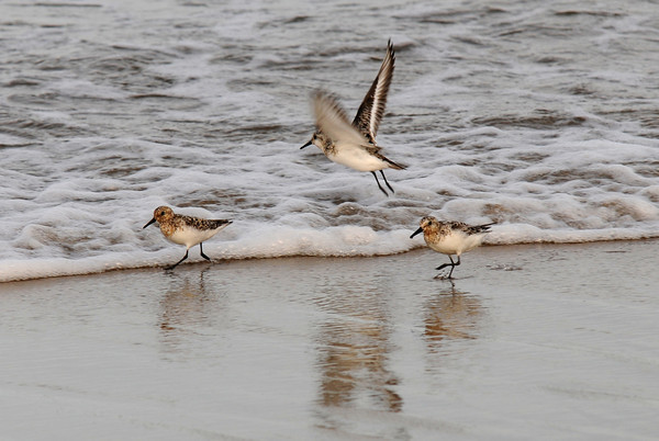 Salisbury: A trio of sandpipers search for a meal along the surf line on Salisbury Beach Friday night, Jim Vaiknoras/Staff photo