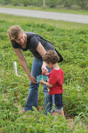 Amesbury:Cara Costa and her son Matthew look through the strawberries they pick at the Cider Hill Farm in Amesbury. JIm vaiknoras/staff photo