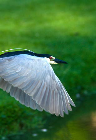 Newbury: A black crowned night heron glides along the water on the Parker River Wild life Refuge. Jim Vaiknoras/staff photo