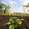 Newburyport:Squash growing under blue skys at the new community garden in Salisbury?. Jim Vaiknoras/staff photo