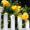 Newburyport: Yellow roses grow on a white fence along High Street in Newburyport. JIm Vaiknoras/staff photo