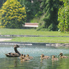 Newburyport: A mommy duck and her ducklings have been seen waddling about on Atkinson Common over the past few days. Jim vaiknoras/staff photo