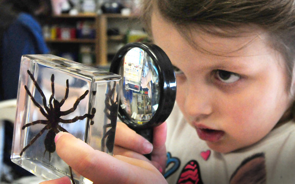 Newburyport: Kendall Sanfacon, 6, uses a magnifying glass to study a funnel web spider in Melissa Duguie's class at the Brown School on Wednesday afternoon. The equipment was included in a discovery science cart loaded with hands on materials provided to the students by the Newburyport Education Fund. Bryan Eaton/Staff Photo