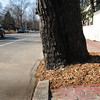 Newburyport: The city of Newburyport has removed bricks from around trees on High Street allowing them more space to stay healthy. Bryan Eaton/Staff Photo