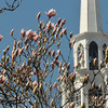 Newburyport: Magnolias blossom on Inn Street in Newburyport framing the steeple at the First Religious Society. JIm Vaiknoras/staff photo