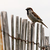 Salisbury: A sparrow perches on a sea fence on Salisbury Beach Saturday afternoon. Jim Vaiknoras/staff photo