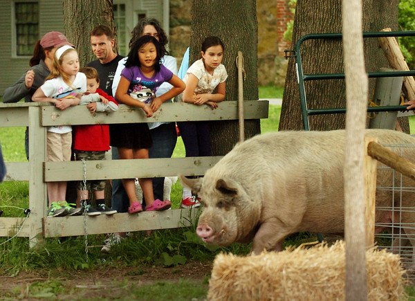 Newbury: Children in an afterschool program at the Spencer-Peirce-Little Farm in Newbury came out to see Dave, the 700 pound pig return home.  He had been at the SPCA in Methuen while a new fence was built to keep him from breaking loose. Bryan Eaton/Staff Photo