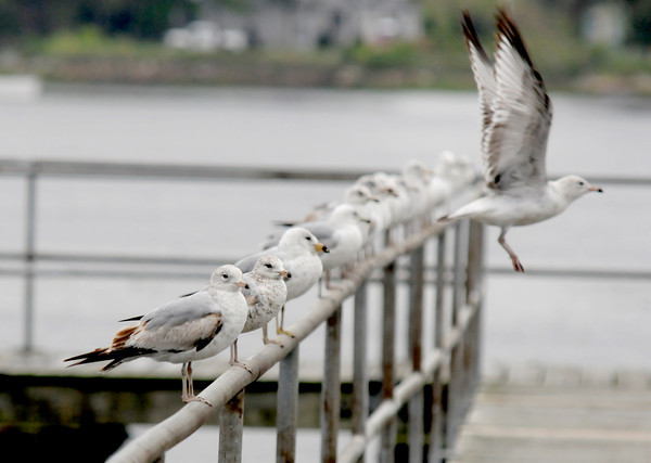 Newburyport: One gull leaves and 10 gulls stay behind perched on the railing of the old fishing peir at Cashman Park in Newburyport Wednesday afternoon. Jim Vaiknoras/staff photo