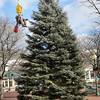Amesbury: A worker from Mayer Tree Service is hoisted to check the lines attached to the Christmas tree erected in Amesbury's Marker Square on Monday. The tree was donated from Tom Hodge's property on 21 Monroe Street and will be lit this weekend. Bryan Eaton/Staff Photo