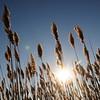 Salisbury: The sun shines through seagrass along Bridge Road in Salisbury