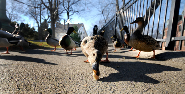 Amesbury. Duck at the Millyard in Amesbury looks for bread and scraps Sunday afternoon. Jim Vaiknoras/staff photo