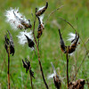 Amesbury: Milkweed at Woodsom Farm in Amesbury goes to seed. Jim Vaiknoras/staff photo