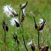 Amesbury: Milkweed at Woodsom Farm in Amesbury goes to seed. Jim Vaiknoras/staff photo