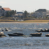 Salisbury: A colony of seals sun themselves in the Merrimack River near Salisbury Beach THursday afternoon. Jim Vaiknoras/staff photo