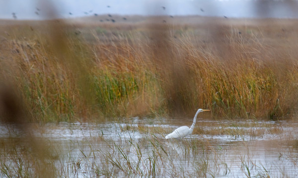 Newbury: An egret hunts the salt marsh along the Pum Island Turnpike Sunday morning. Jim Vaiknoras/staff photo