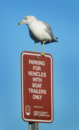 Newburyport: This gull spotted at Cashman Park in Newburyport Tuesday afternoon either can't read or left its boat trailer in the nest. Bryan Eaton/Staff Photo