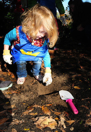 Newburyport: Blaire Fox, 3, puts a tulip bulb into the ground off Inn Street outside the Newburyport Monetessori School then sprinkled chili flakes around to deter squirrels. Her classmates from the school will wait until the spring to watch the bulbs appear as they learn about life cycles. Bryan Eaton/Staff Photo