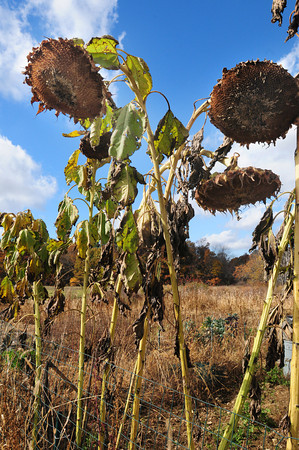 Amesbury: Sunflowers droop at the Amesbury Community Garden as the growing season is about over except for a few greens and cruciferous vegetables. Bryan Eaton/Staff Photo