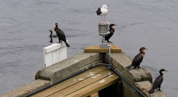 Amesbury: Cormerants and a gull rest on Derek Hines Bridge Saturday morning. Jim Vaiknoras/staff photo