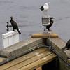 Amesbury: Cormerants and a gull rest on Derek Hines Bridge Saturday morning. Jim Vaiknoras/staff photo