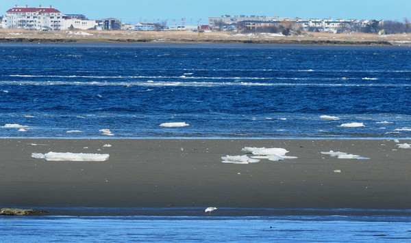 Newburyport: Ice floes settle on sandbar in the Merrimack River off Joppa Park as a seagull looks for food Monday afternoon. Bryan Eaton/Staff Photo