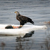 Amesbury: An immature bald eagle floats on an ice floe down the Merrimack River in Amesbury near Lowell's Boat Shop on Tuesday with what's left of its lunch. Bryan Eaton/Staff Photo