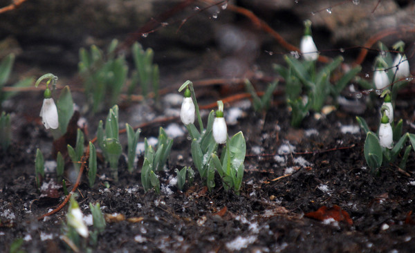 newburyport: Snowbells on Friut Street in Newburyport push their way up as snow falls Sunday morning. Jim Vaiknoras/staff photo