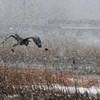 Salisbury: A great blue heron glides through the snow over the marsh off Ferry Road in Salisbury Sunday afternoon. Jim Vaiknoras/staff photo