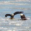 Newburyport:  A pair of bald eagles share a meal on the ice in the Merrimack River just off the seawall in Newburyport. Jim Vaiknoras/staff photo