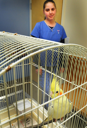 Newbury: Michelle Wardwell of the Newbury Animal Hospital oversees a cockatiel that was found at Salisbury Beach State Reservation. Bryan Eaton/Staff Photo