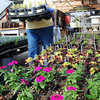 Salisbury: Though it's snowing today, spring is supposed to begin tomorrow. It's still spring in area greenhouses as they get ready for the season, here Gail Kelleher spent Monday morning transplanting plugs at Pettegill Farm in Salisbury. Bryan Eaton/Staff Photo