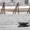 Salisbury: Two seals rest on an out cropping of rocks in the Merrimack River off Salisbury. Jim Vaiknoras/staff photo