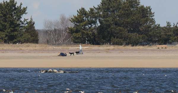 Salisbury: A couple and their dogs play along the river side of Salisbury Beach Reservation as a pod of seals sun themselves Saturday afternoon. Jim Vaiknoras/staff photo