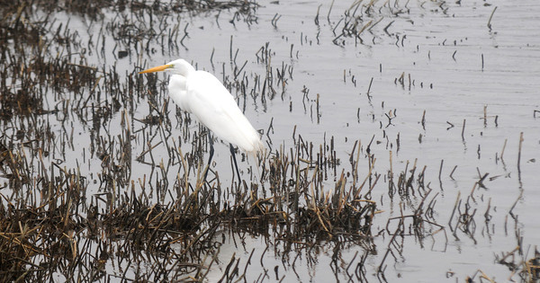 Newbury: A snowy egret stalks the salt marsh along the Plum Island Turnpike in Newbury Friday afternoon. jim vaiknoras/staff photo