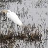 Newbury: A snowy egret stalks the salt marsh along the Plum Island Turnpike in Newbury Friday afternoon. jim vaiknoras/staff photo