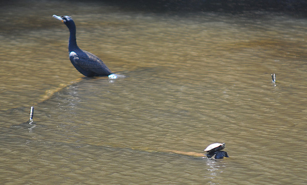 Amesbury: A turtle and a cormorant rest on a sunken branch in the pond in Amesbury Park Sunday morning. Jim Vaiknoras/staff photo