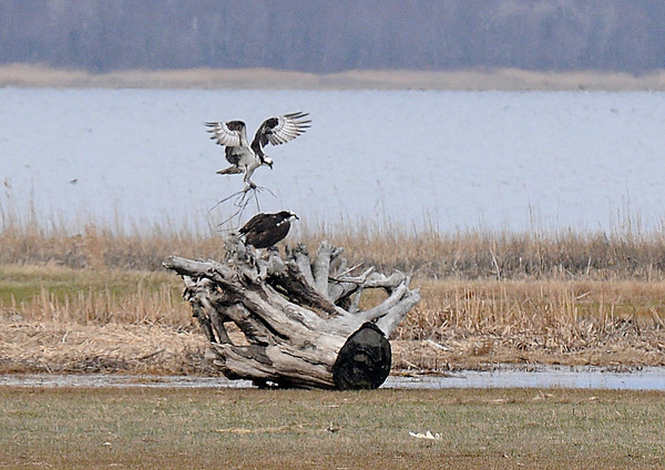 Newbury: A male osprey brings nesting material to a  female as part of a courtship ritual in the salt marsh along teh Plum Island Turn Pike in Newbury Thursday afternoon. Jim Vaiknoras/staff photo