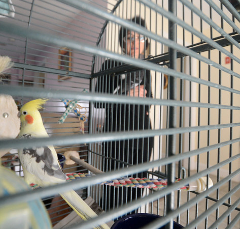 Salisbury: Charlie, who is quarentined, sits in his cage at Veronica Atlantis' home in Salisbury. Jim Vaiknoras/staff photo