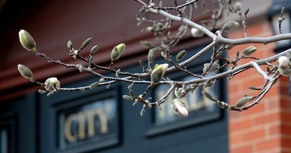 JIM VAIKNORAS/Staff photo  Magnolias infront of City Hall in Newburyport, don't seem quite ready to bloom on a cold rainy April Sunday.