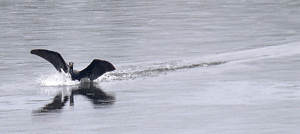 Jim Vaiknoras/Staff photo A cormorant lands in the Merrimack River  near main Street in Amesbury.