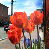JIM VAIKNORAS/Staff photo  Tulips grow a brisk spring day on Liberty Street in Newburyport.