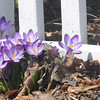 JIM VAIKNORAS/Staff photo  Crocuses grow along Fruit Street in Newburyport.