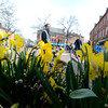 JIM VAIKNORAS/Staff photo  Dafodils frame Market Square in Newburyport a a brisk spring day.