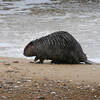 BRYAN EATON/Staff Photo. A wayward beaver walks along the surf line on Plum Island yesterday in the vicinity of blu, the Inn on the Beach. A naturalist said beavers are sometimes seen in marshy areas but are very rare to be on beaches.