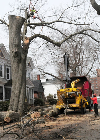 BRYAN EATON/Staff Photo. Newburyport had this tree on Orange Street taken down on Monday morning with the street being closed during the process. The tree was deemed dangerous as many parts of it had rotted and the huge limbs could create damage in storms.