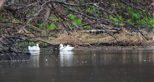 BRYAN EATON/ Staff Photo. These white ducks were spotted at Bailey's Pond in Amesbury along with some cormorants which are usually spotted in the Merrimack River.