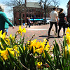 BRYAN EATON/ Staff Photo. Daffodils and people out enjoying the nice weather in downtown Newburyport were plentiful yesterday for the Patriot's Day holiday. Warm weather continues today with rain overnight ending early Wednesday morning.