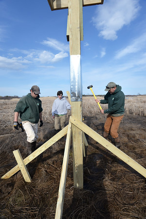 BRYAN EATON/Staff Photo. David Rimmer, director of land stewardship for Essex County Greenbelt sledges support posts into the marsh. The metal sheathing halfway up is to protect the osprey nest from predators, namely raccoons.